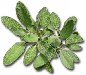sage-herb
